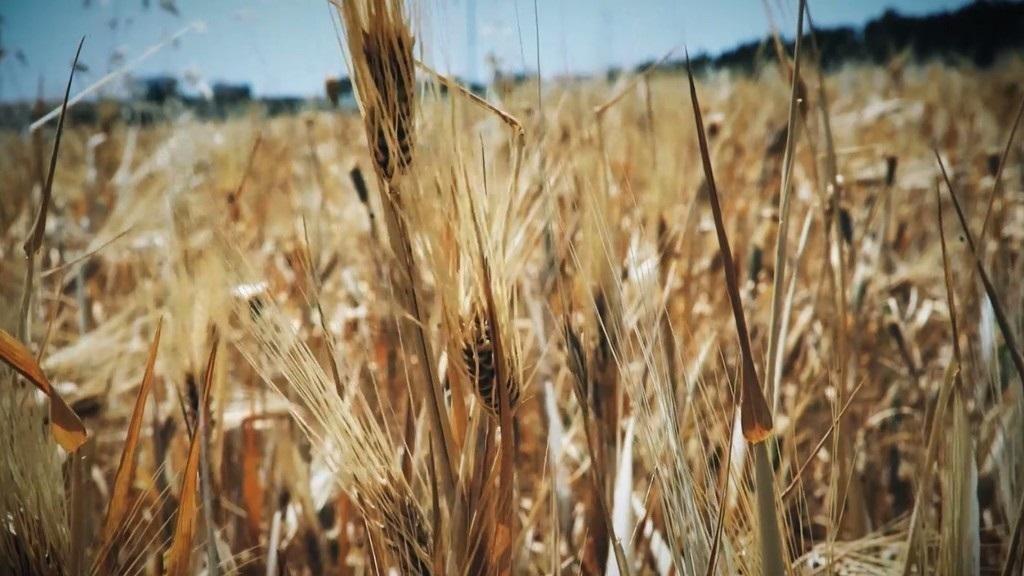 الاحتياطي الاستراتيجي من القمح في مصر يكفي لنحو 3 أشهر