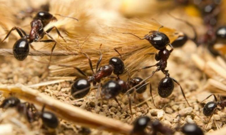 نوع من النمل يفاجئ العلماء!!