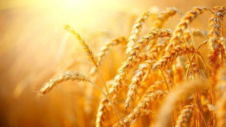 وصول القمح إلى مستويات قياسية جديدة حيث تثير وزارة الزراعة الأمريكية مخاوف الإمدادات العالمية
