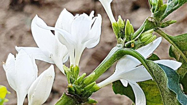 القهوة تزهر في جبال جازان بالمملكة العربية السعودية